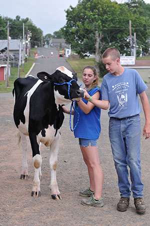 walking a dairy heifer outdoors