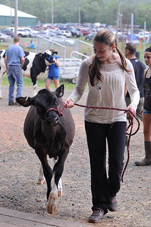 girl walking a dairy heifer